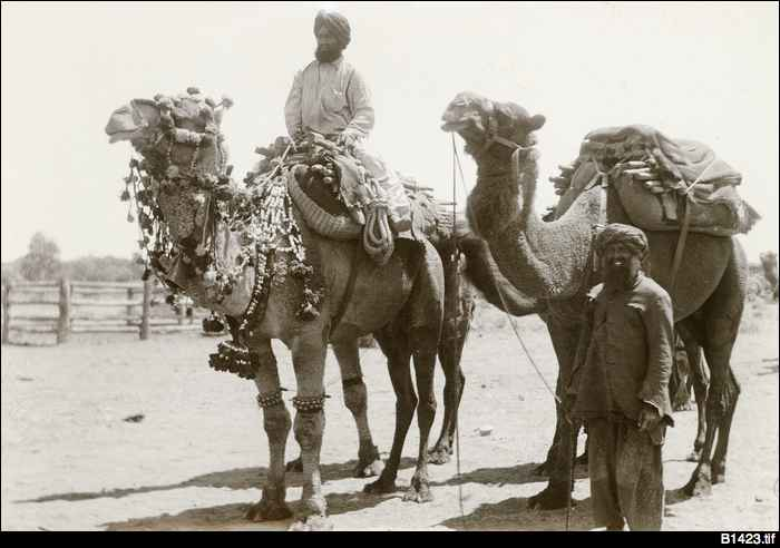 Afghan handlers and camels