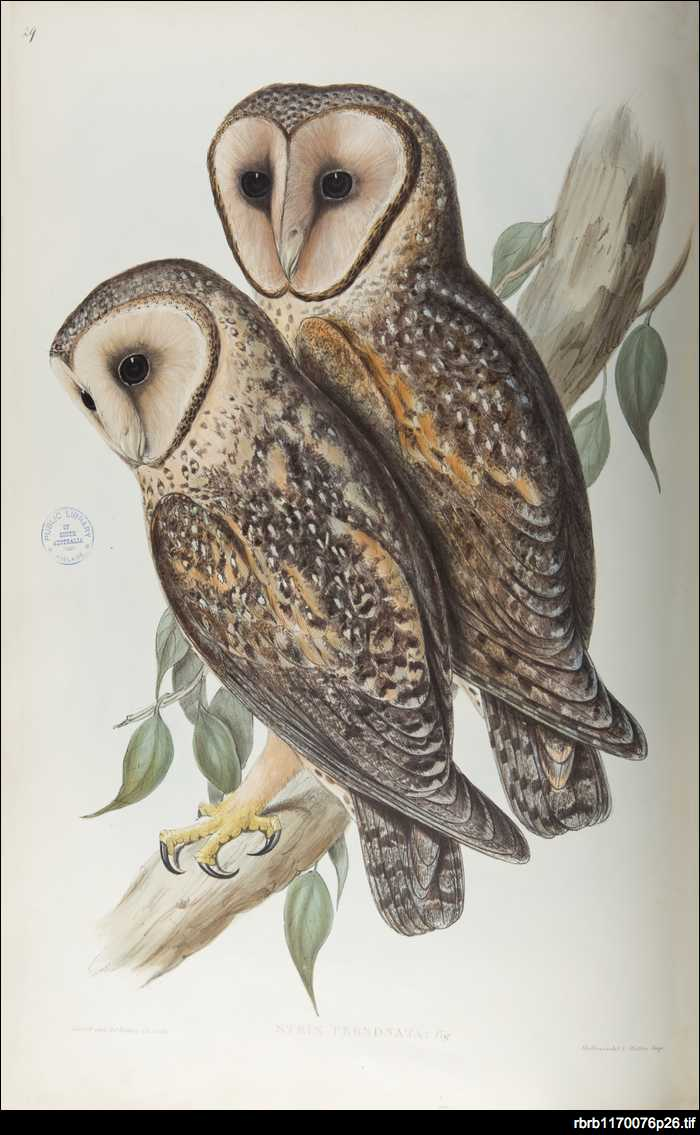 Gould's owls