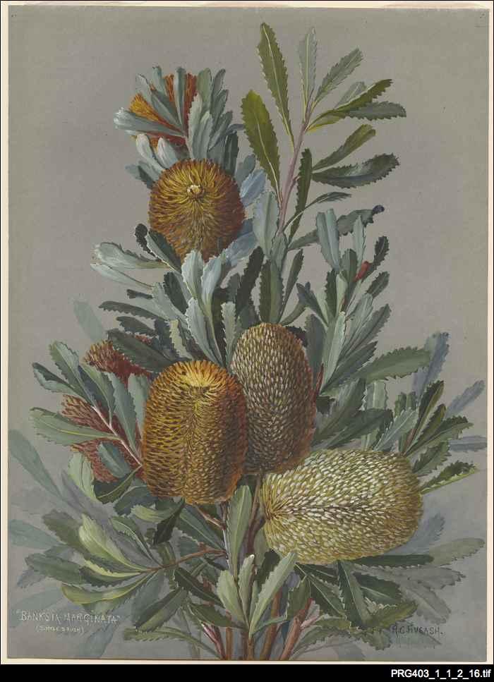 Rosa Fiveash botanical artwork