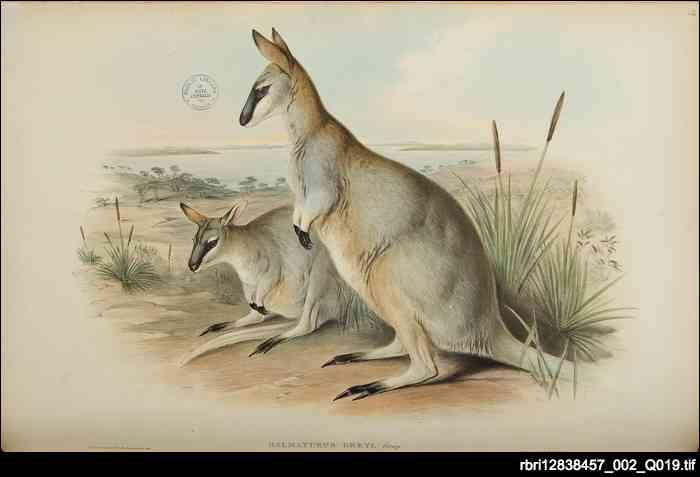 Toolache wallaby