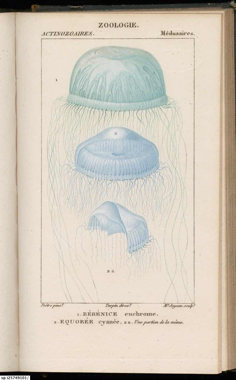 Actinozoaires Medusaires