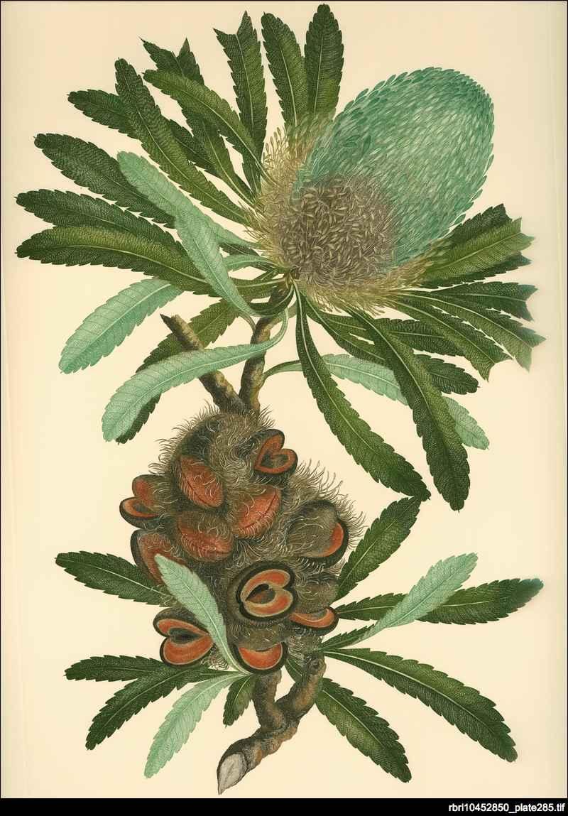 Banks' florilegium