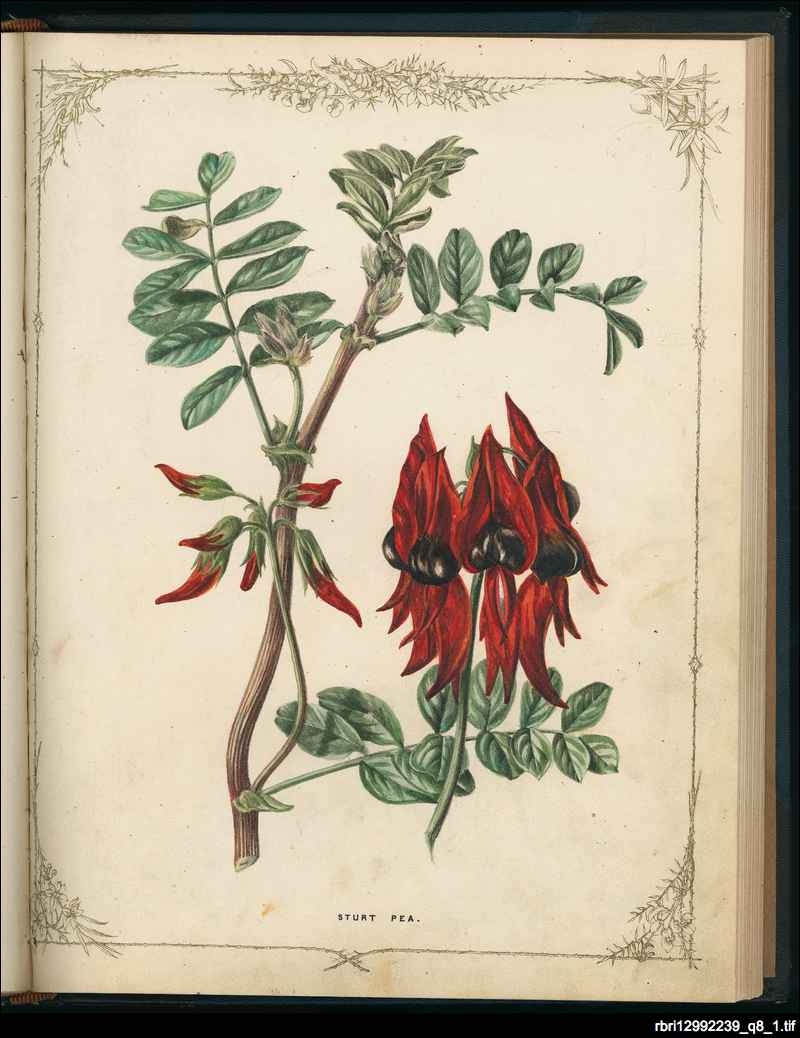 Wild flowers of South Australia
