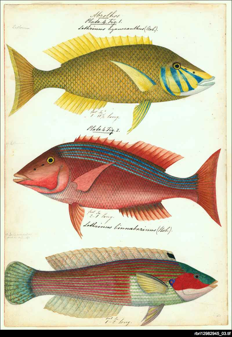 Sketches of Australian fishes, etc.