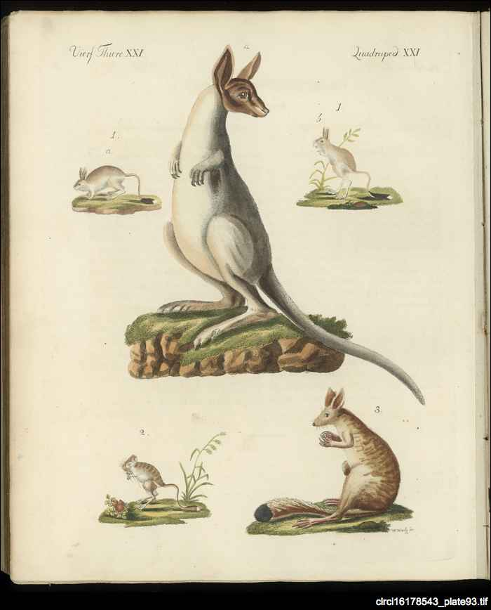 Kangaroo: from a children's encyclopaedia